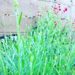 ガーデニング初級。庭、花壇作り!多年草で毎年咲く花を楽しむ。